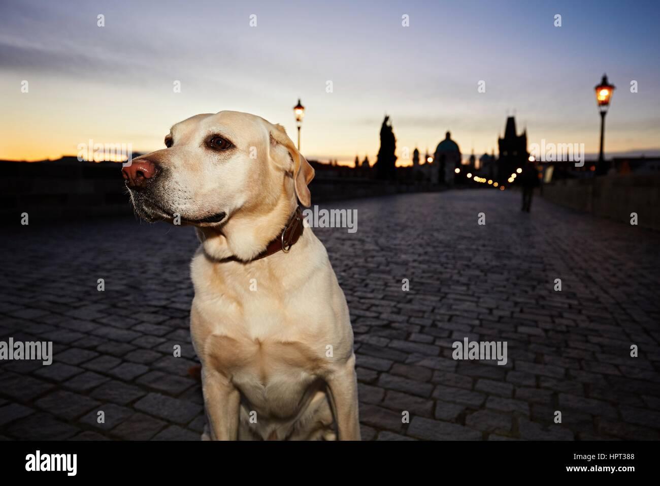 Labrador retriever on the Charles Bridge in Prague at the sunrise. - Stock Image