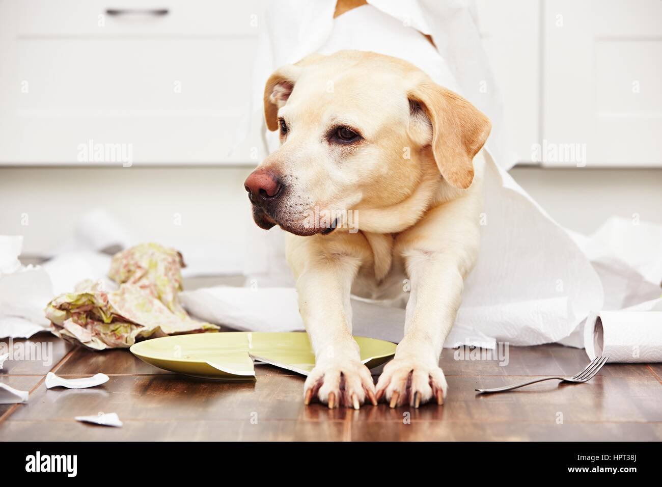 Naughty dog - Lying dog in the middle of mess in the kitchen. Stock Photo