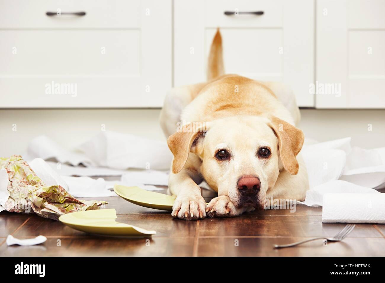 Naughty dog - Lying dog in the middle of mess in the kitchen. - Stock Image