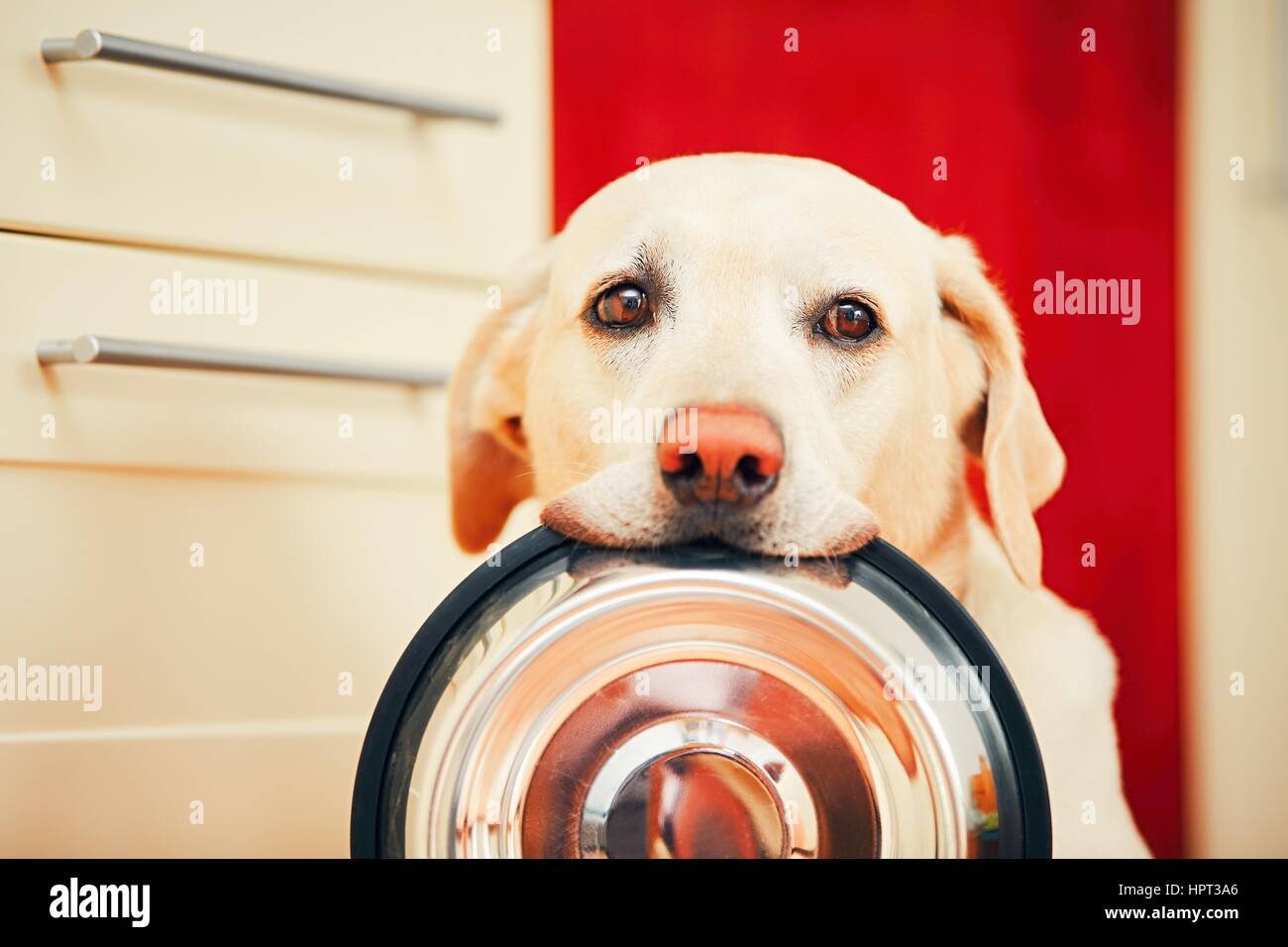 Domestic life with dog. Hungry dog with sad eyes is waiting for feeding in home kitchen. Adorable yellow labrador - Stock Image