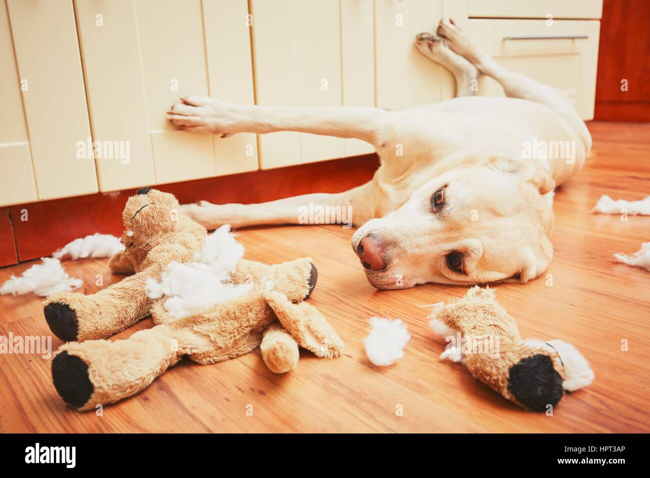 Naughty dog home alone - yellow labrador retriever destroyed the plush toy and made a mess in the apartment - Stock Image