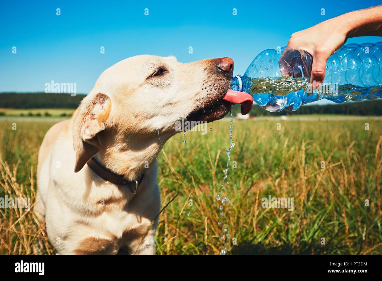 Hot day with dog. Thirsty yellow labrador retriever drinking water from the plastic bottle his owner. - Stock Image