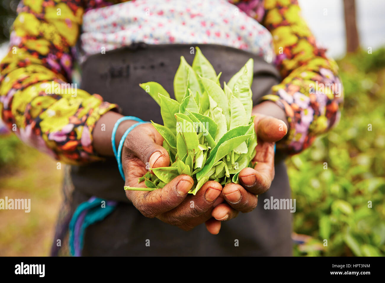 Hands of women from the tea plantation - Sri Lanka - Stock Image
