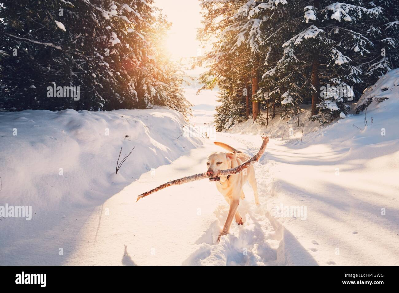 Dog in winter nature. Yellow labrador retriever is walking with stick in mouth. - Stock Image