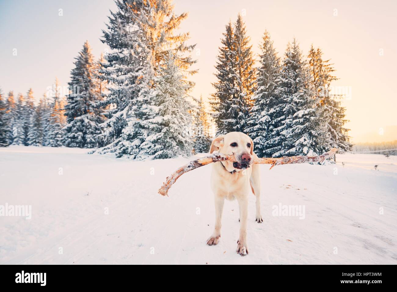 Dog in winter nature. Yellow labrador retriever is walking with stick in mouth during golden sunset. - Stock Image