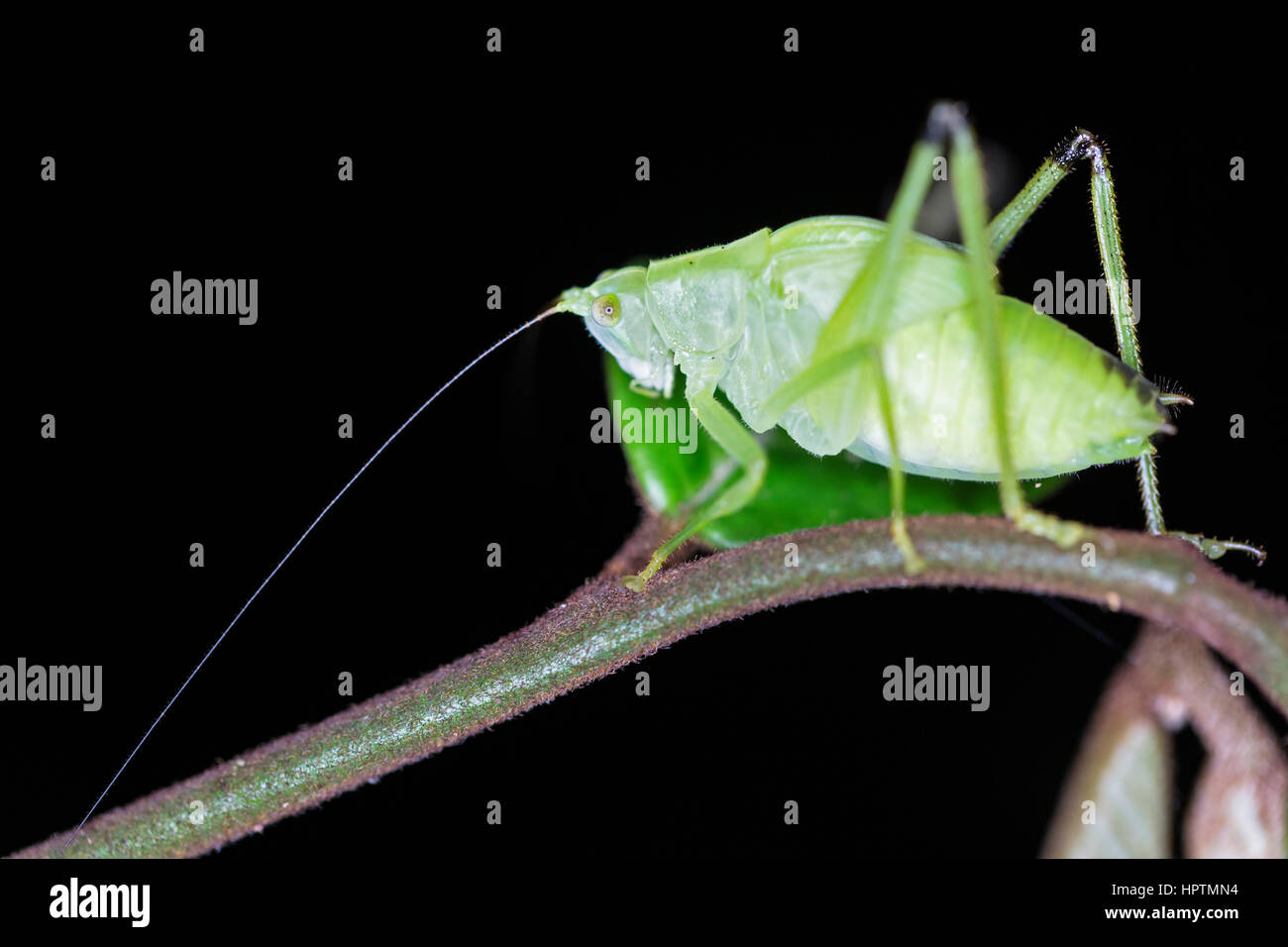 Peru, Manu National Park, Oblong-Winged katydid on twig - Stock Image