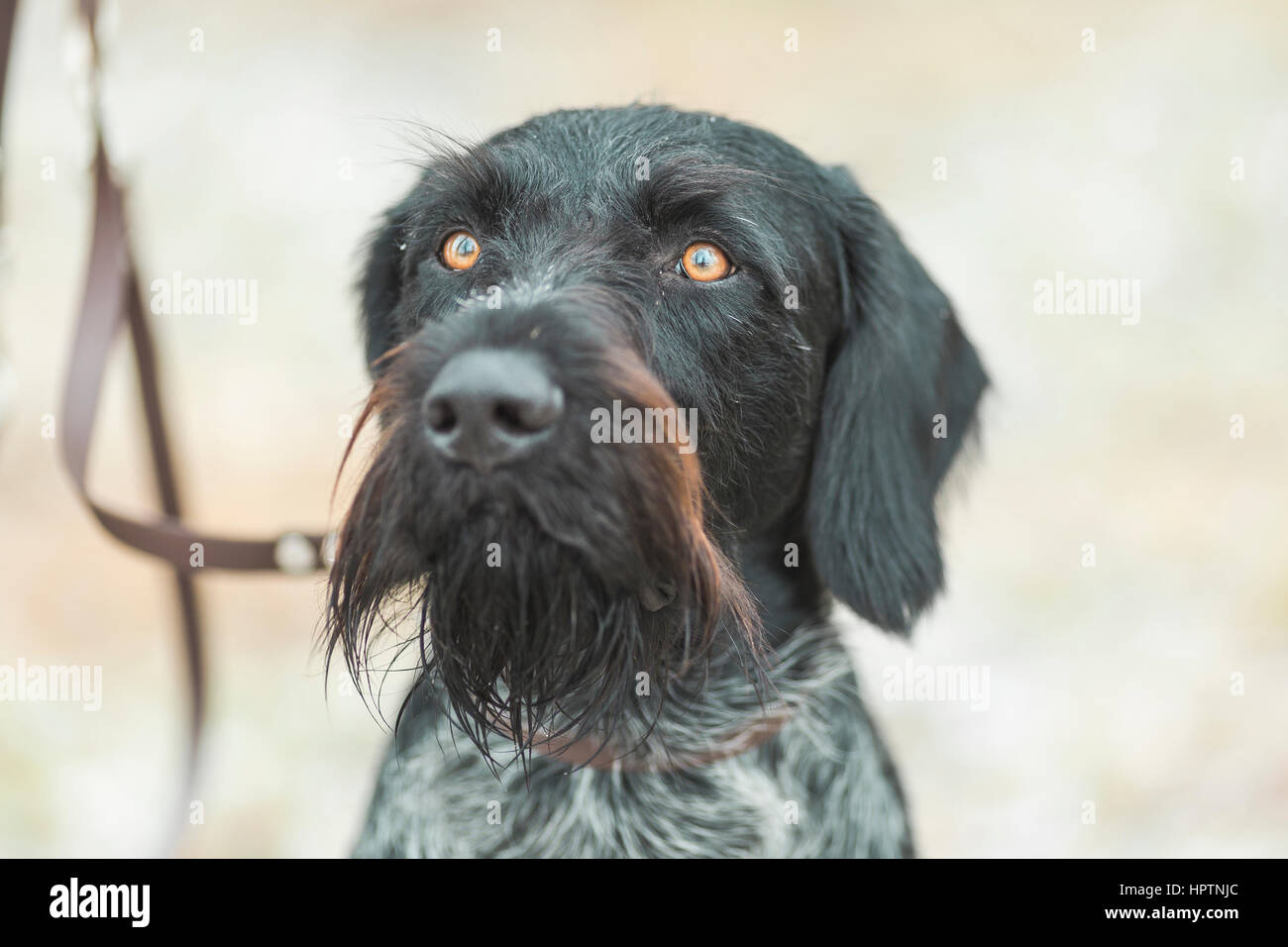 Portrait of German Wirehaired Pointer Stock Photo: 134538836 - Alamy