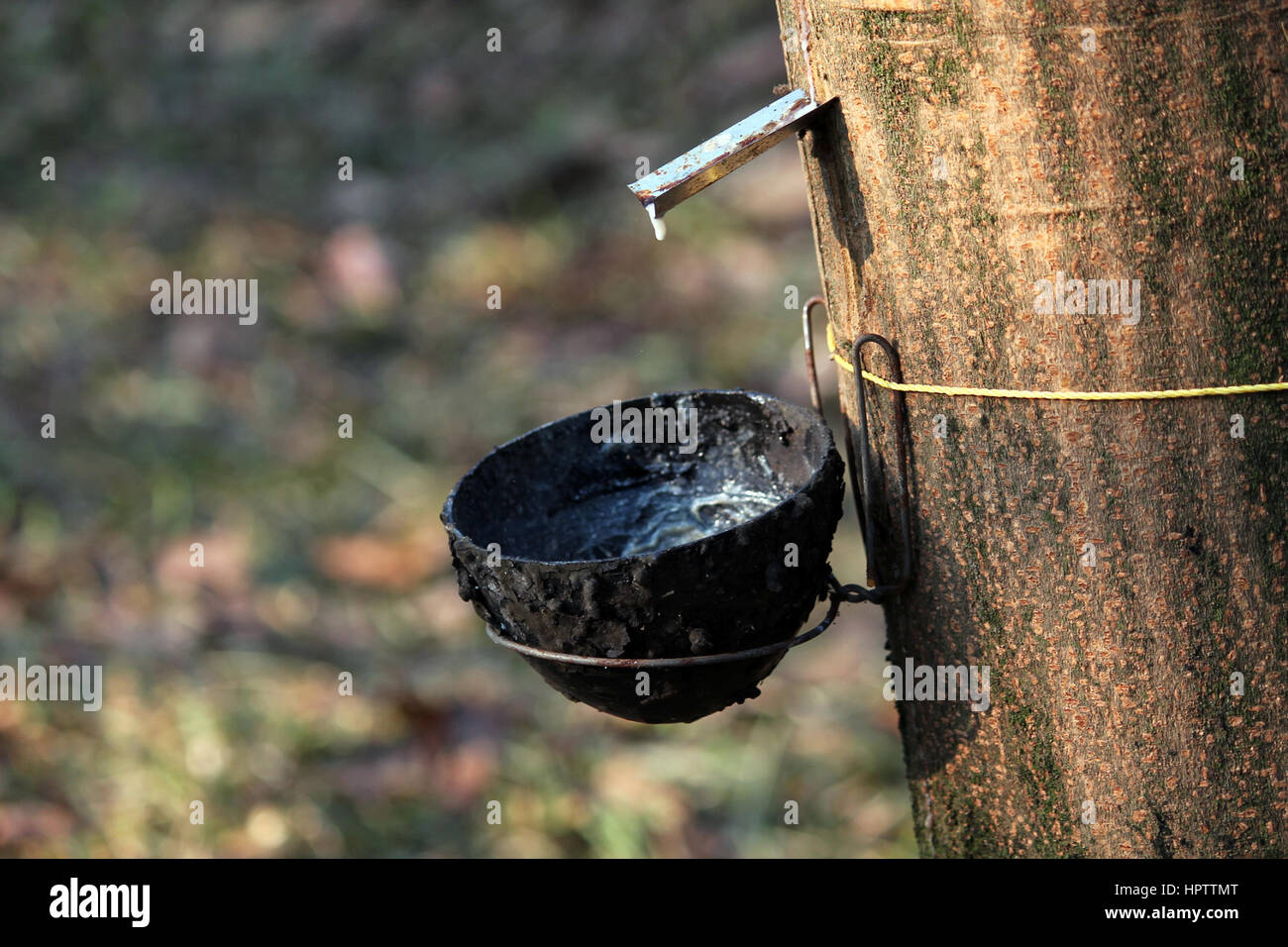 Tapping the white blood - Stock Image