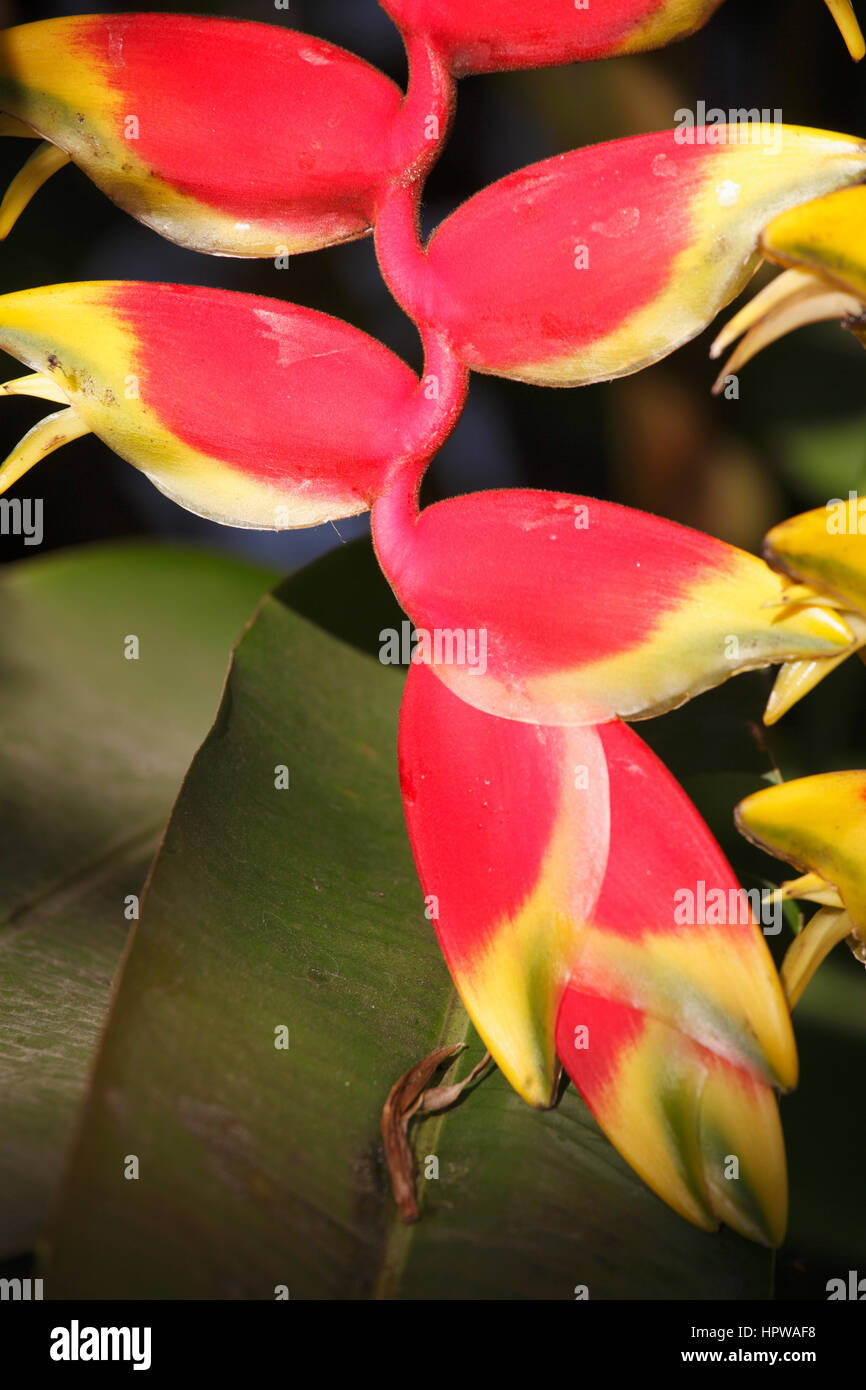 Laos, Luang Prabang, lobster claw flower, heliconia rostrata, - Stock Image