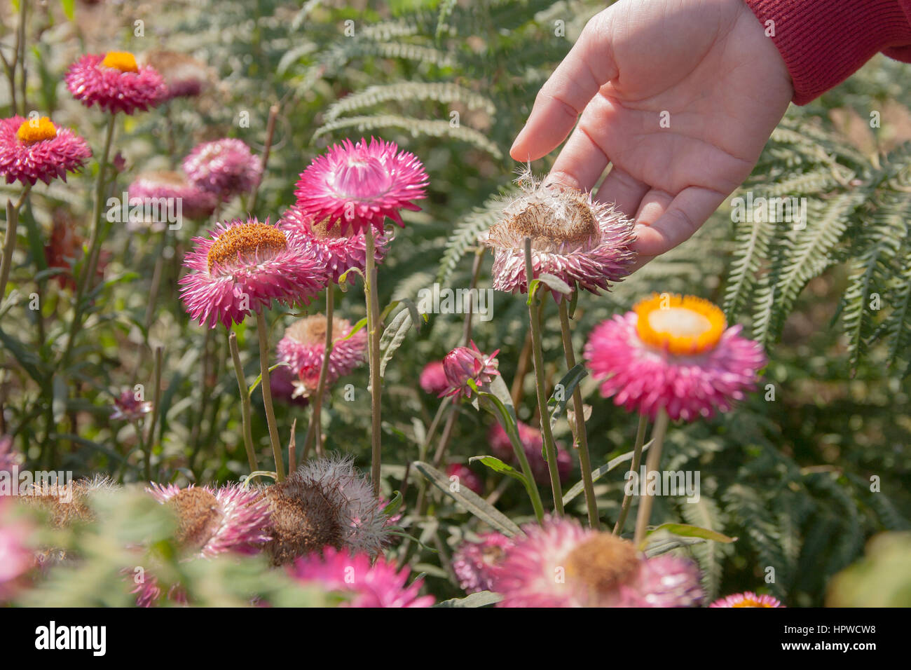 Straw Flowers Stock Photos Straw Flowers Stock Images Alamy