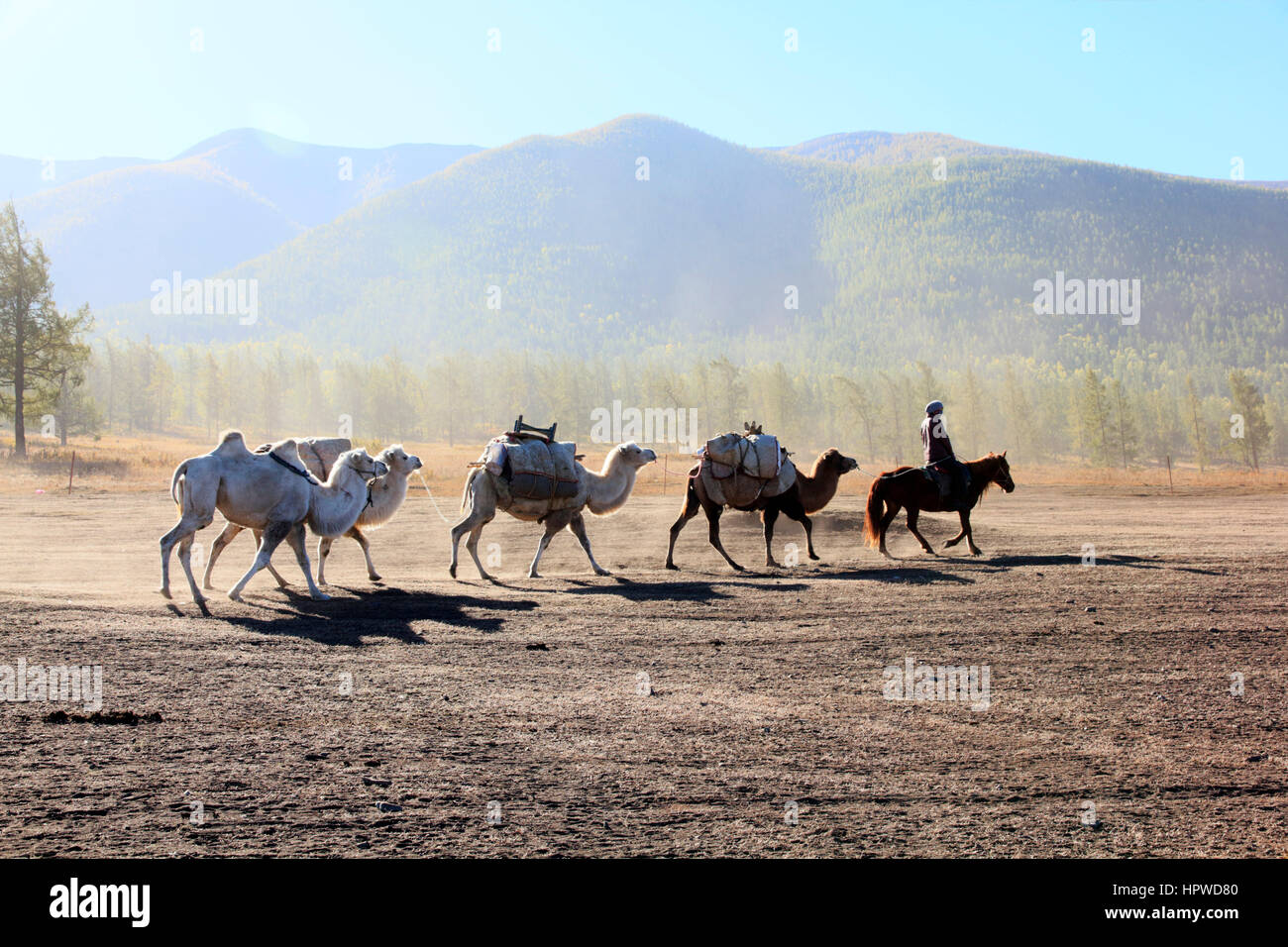 Camel Convoy - Stock Image