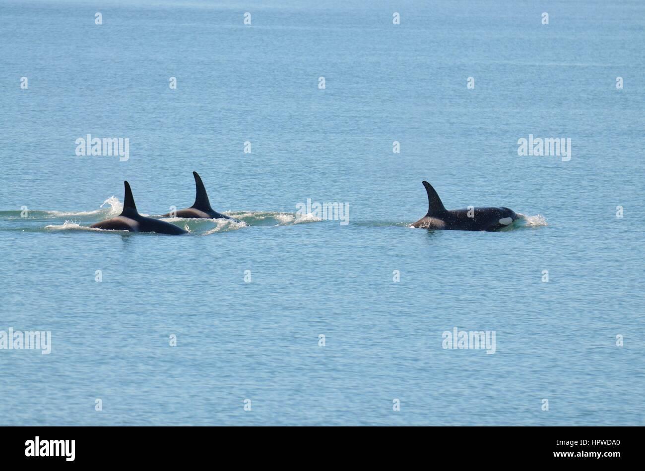 Alaskan Killer Whales - Stock Image