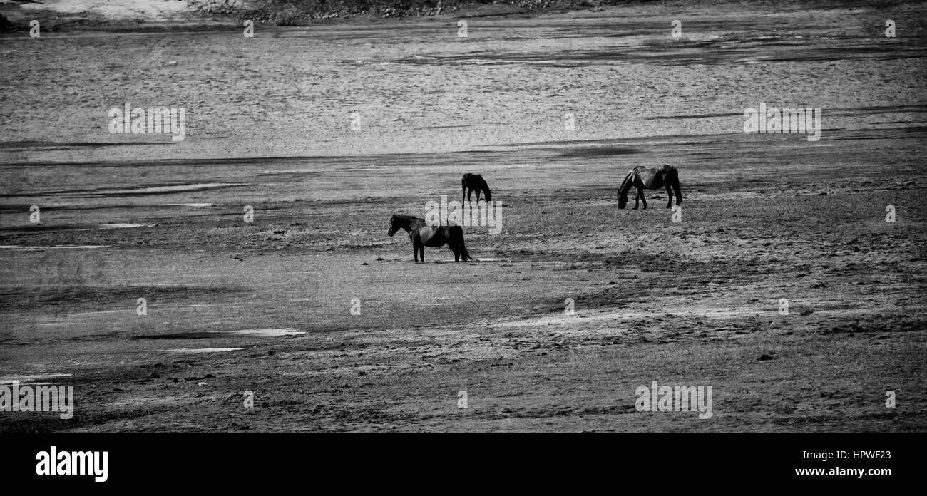 black and white panoramic landscape wit horses - Stock Image