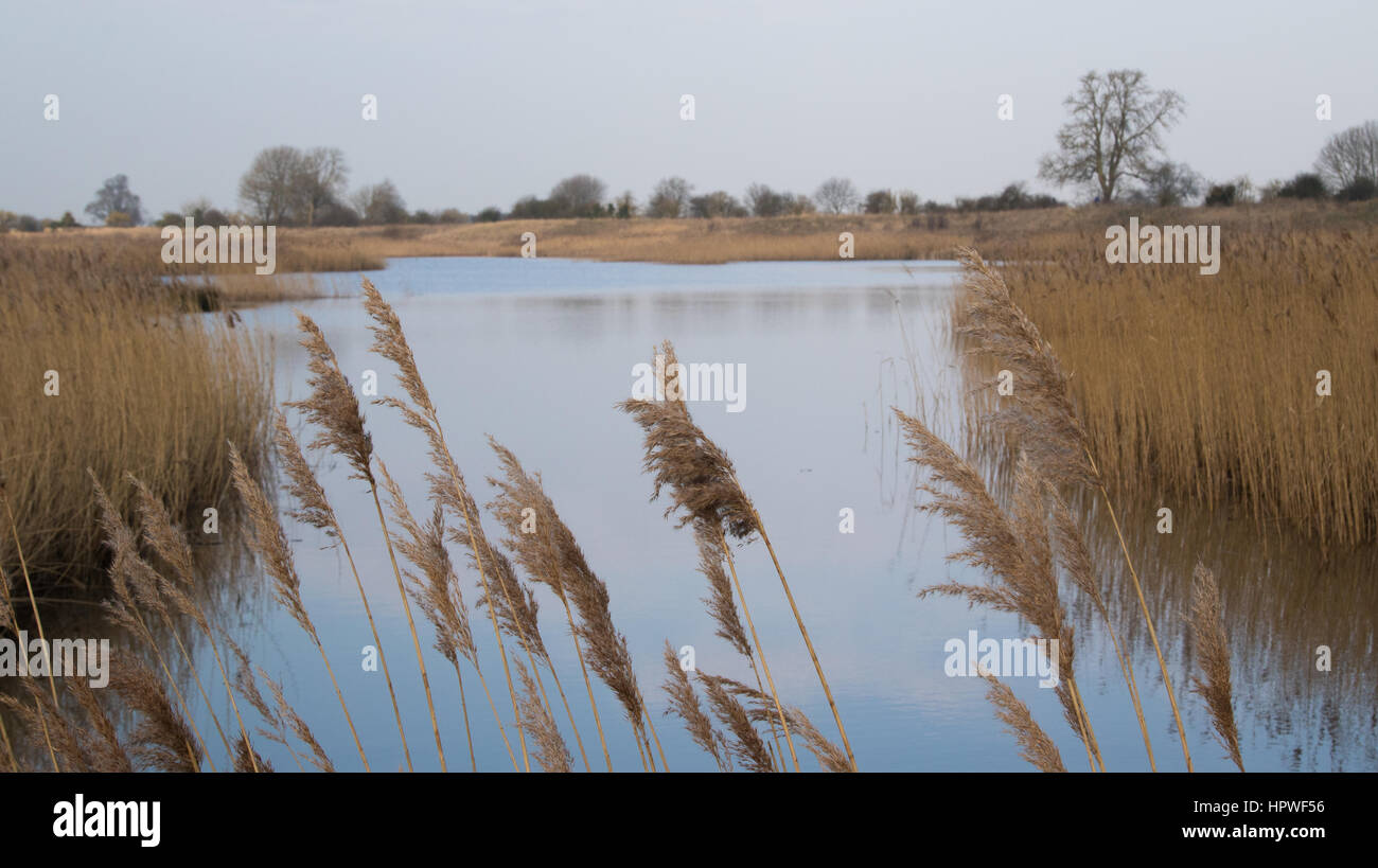Reedbeds surrounding a reclaimed gravel pit at Langford Lowlands RSPB reserve, Nottinghamshire, UK - Stock Image