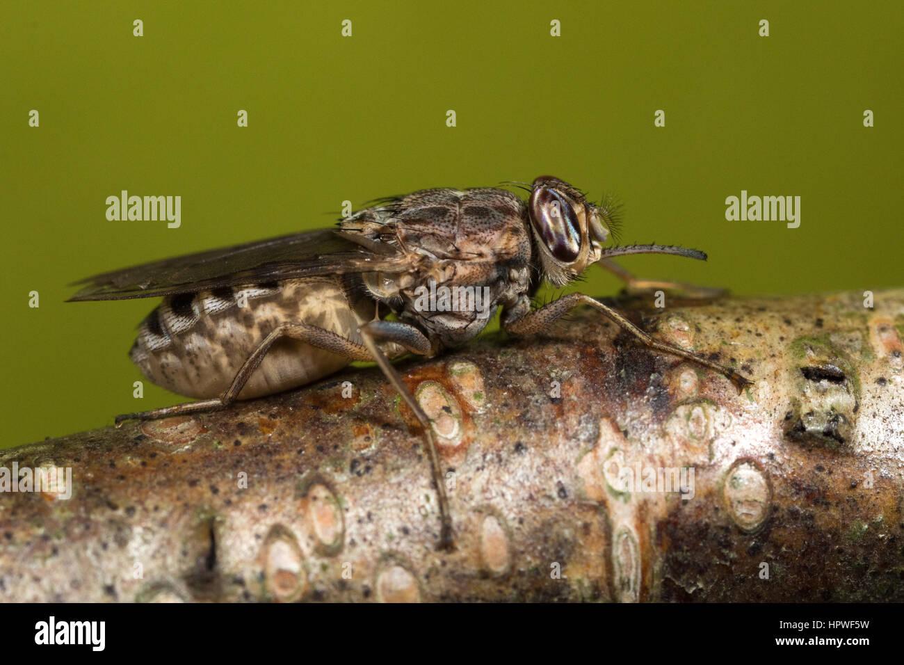 pregnant female Savannah Tsetse Fly (Glossina morsitans) - Stock Image