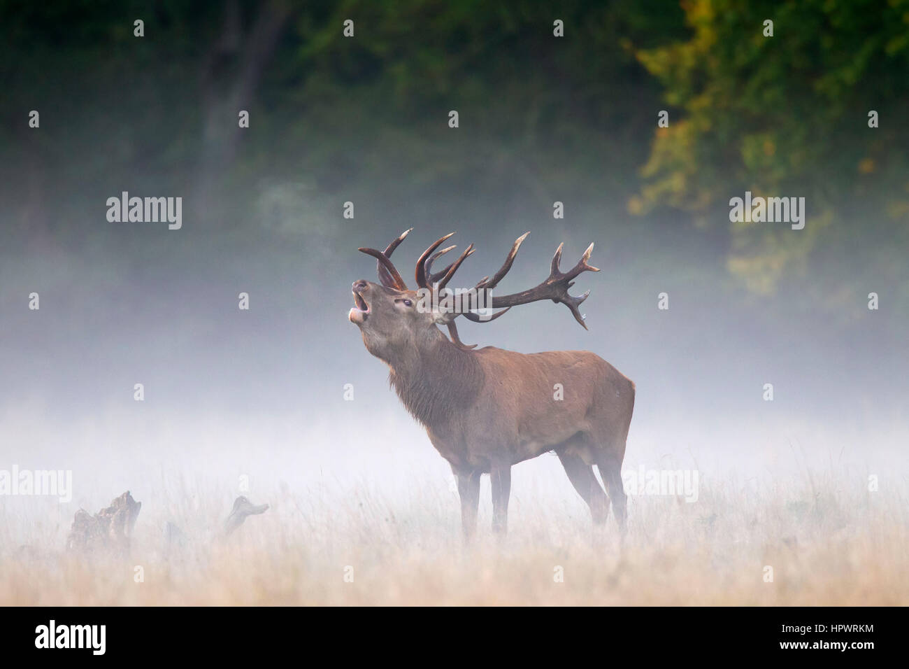 Red deer (Cervus elaphus) stag bellowing in grassland in the mist at forest's edge during the rut in autumn - Stock Image