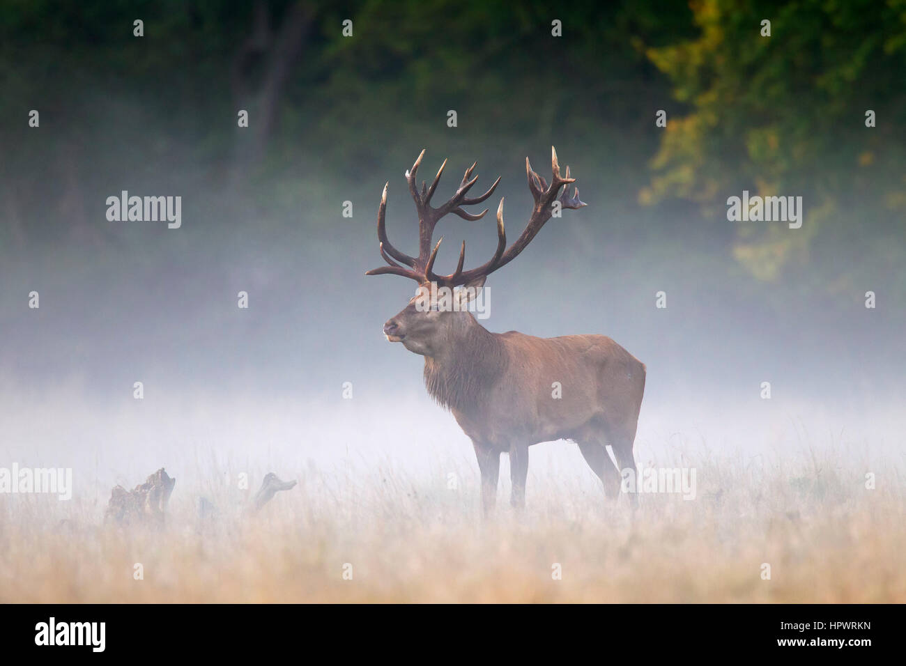 Red deer (Cervus elaphus) stag in grassland in the mist at forest's edge during the rut in autumn - Stock Image