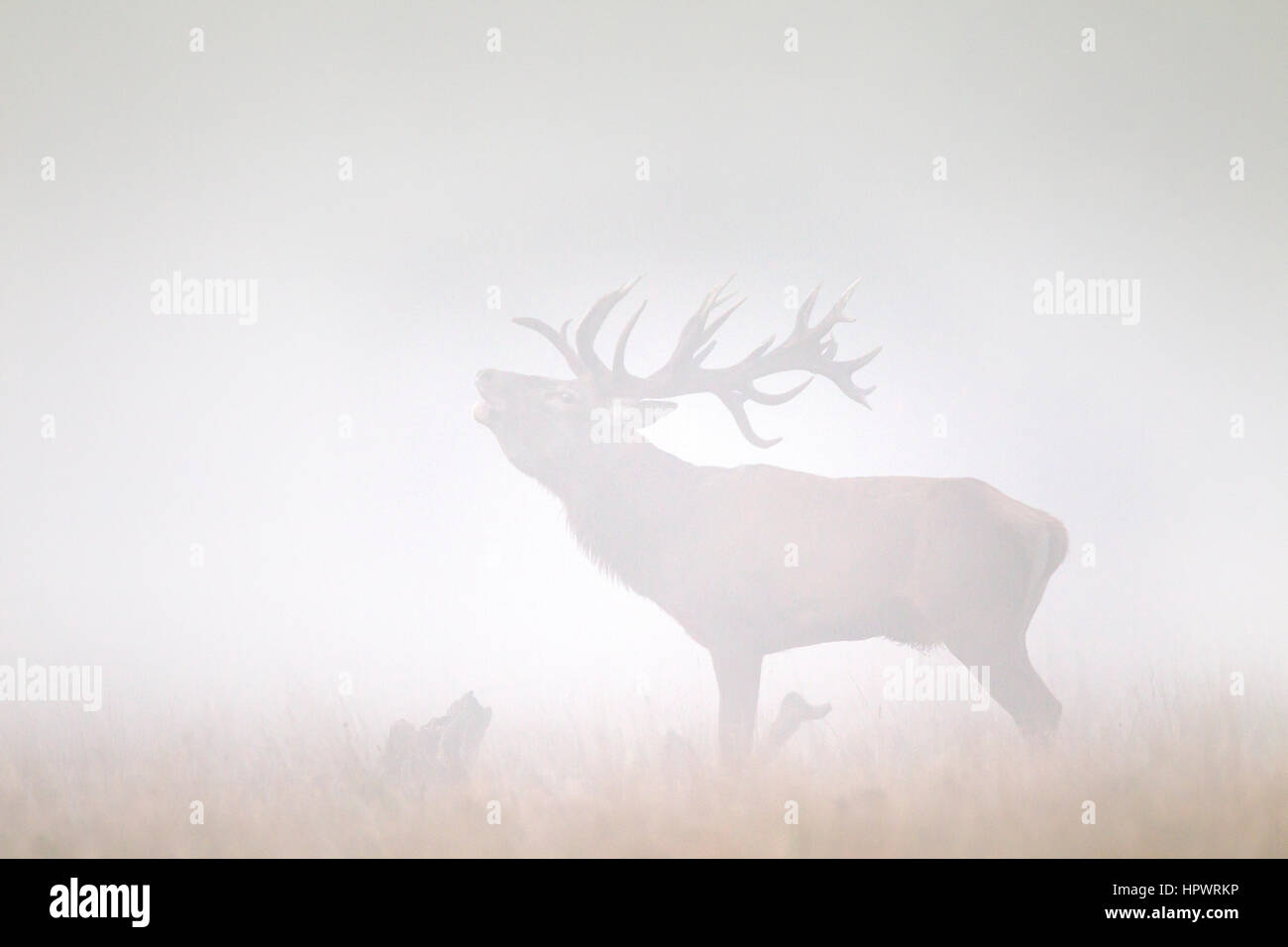 Red deer (Cervus elaphus) stag bellowing in grassland in thick fog during the rut in autumn - Stock Image