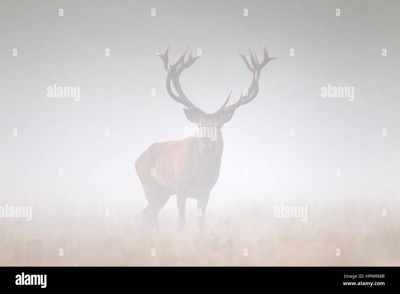 Red deer (Cervus elaphus) stag in grassland in thick fog during the rut in autumn - Stock Image