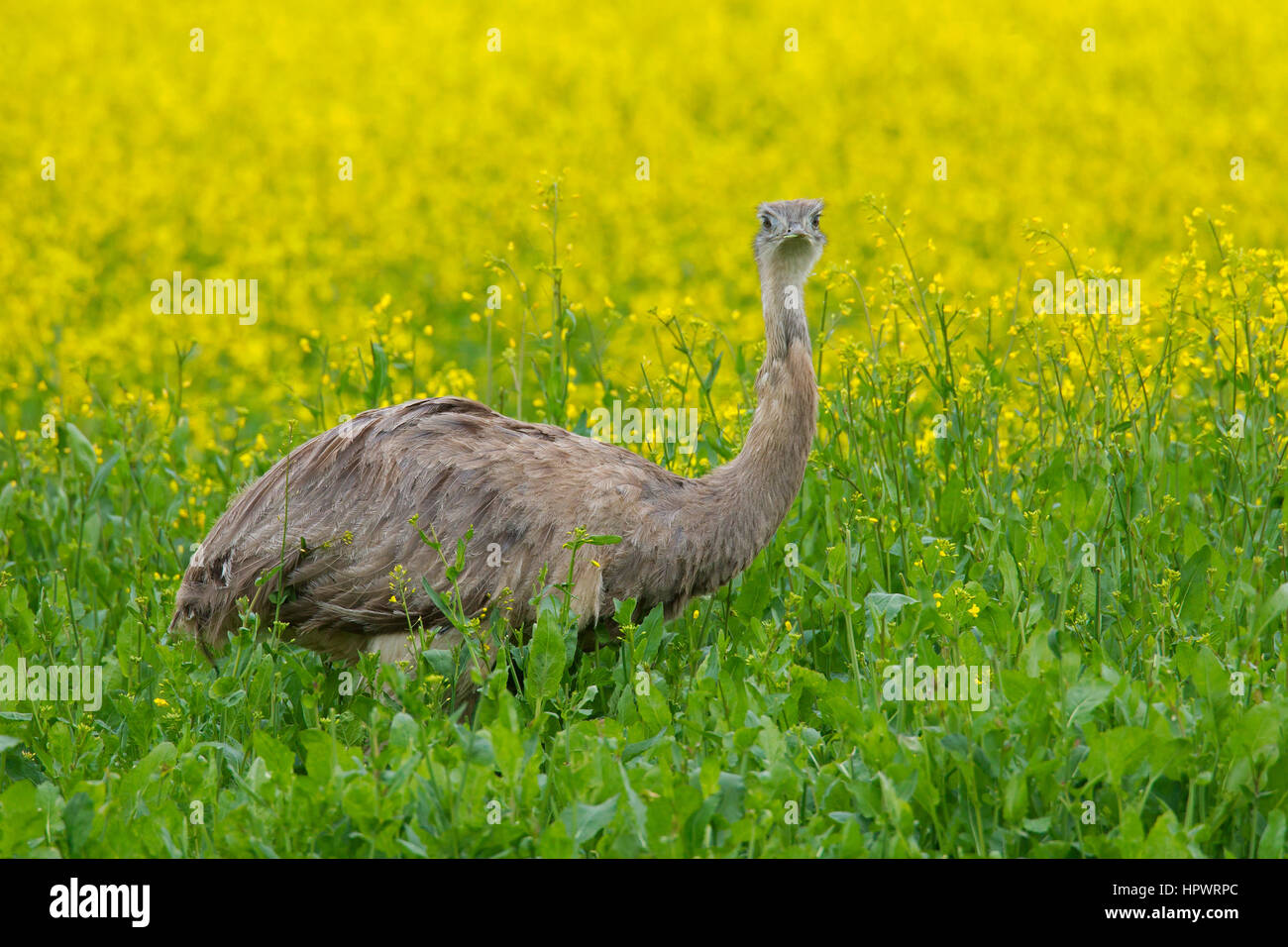 Greater rhea / American rhea / ñandú (Rhea americana), flightless bird / ratite native to eastern South - Stock Image