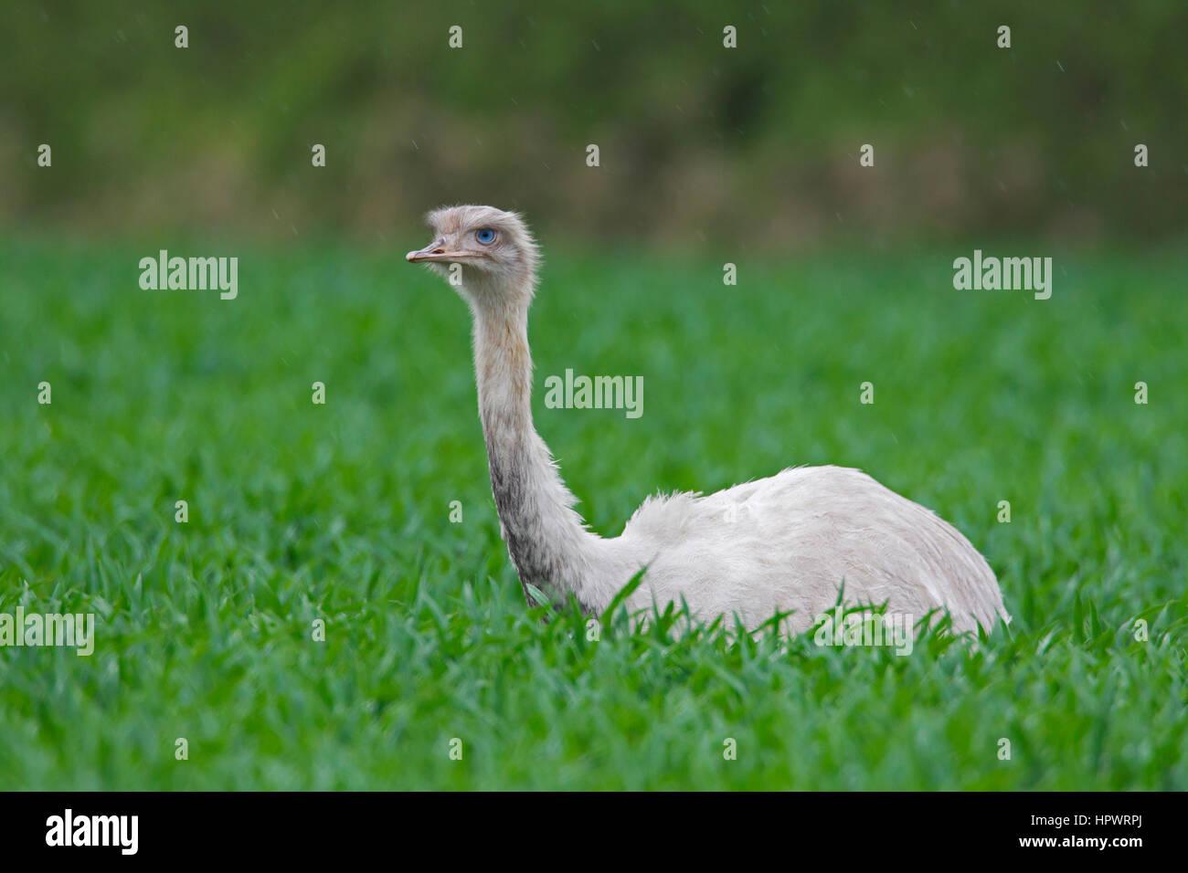 Leucistic greater rhea / American rhea / ñandú (Rhea americana), flightless bird / ratite, white morph - Stock Image