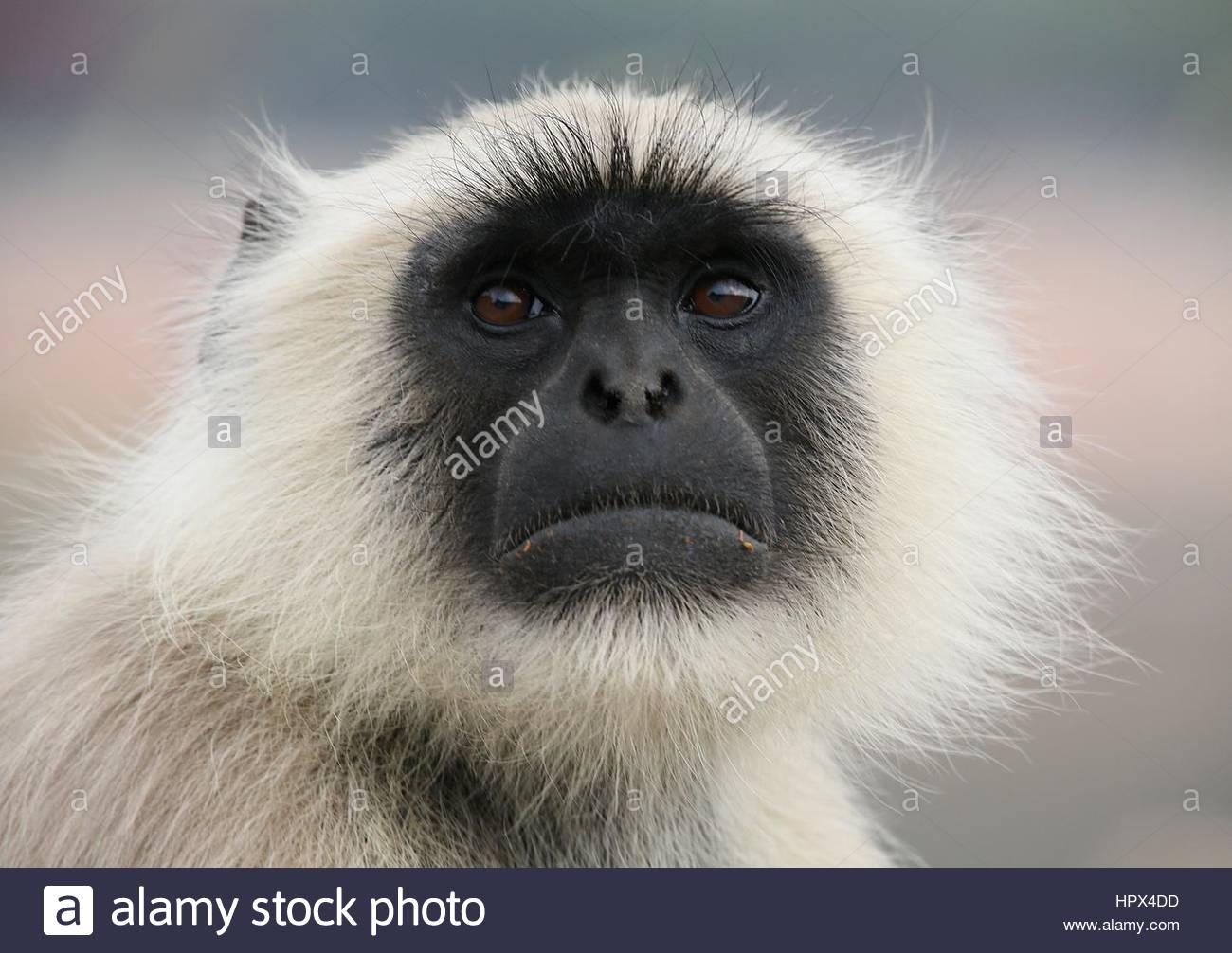 Gray Langur, Monkey face - Stock Image