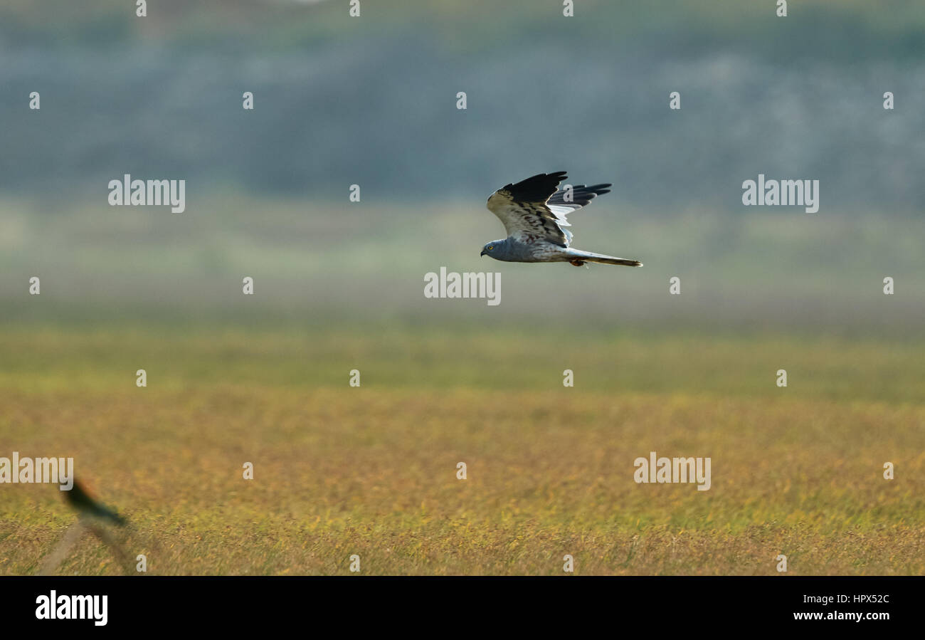 Flapping wings perching male Montagu's Harrier (Circus pygargus). Stock Photo