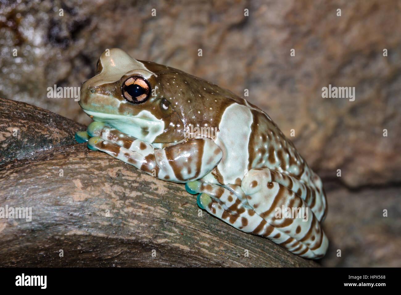 Closeup of Amazon Milk Frog - Stock Image