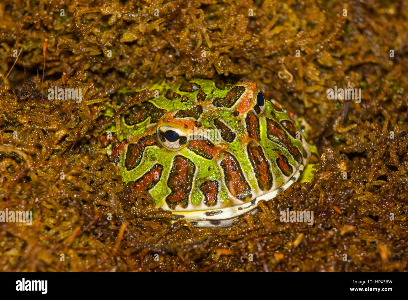 Closup of Ornate Horned Frog - Stock Image