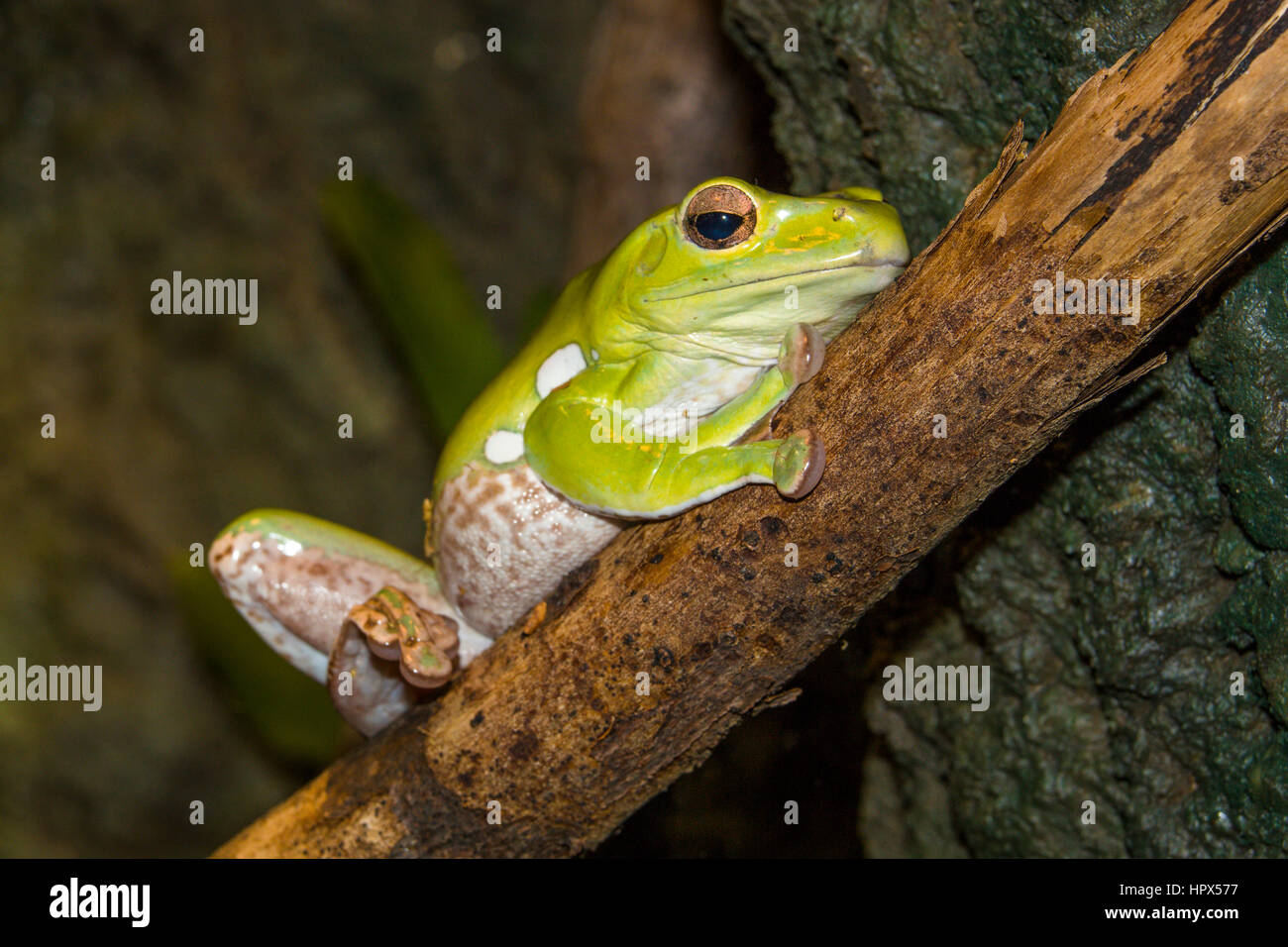 Closeup of Mexican Dumpy Frog - Stock Image