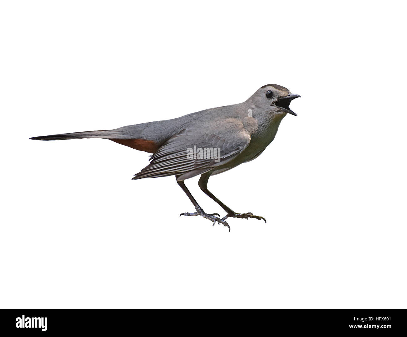 Grey Catbird (Dumetella carolinensis) in aggresive pose isolated on white background. - Stock Image