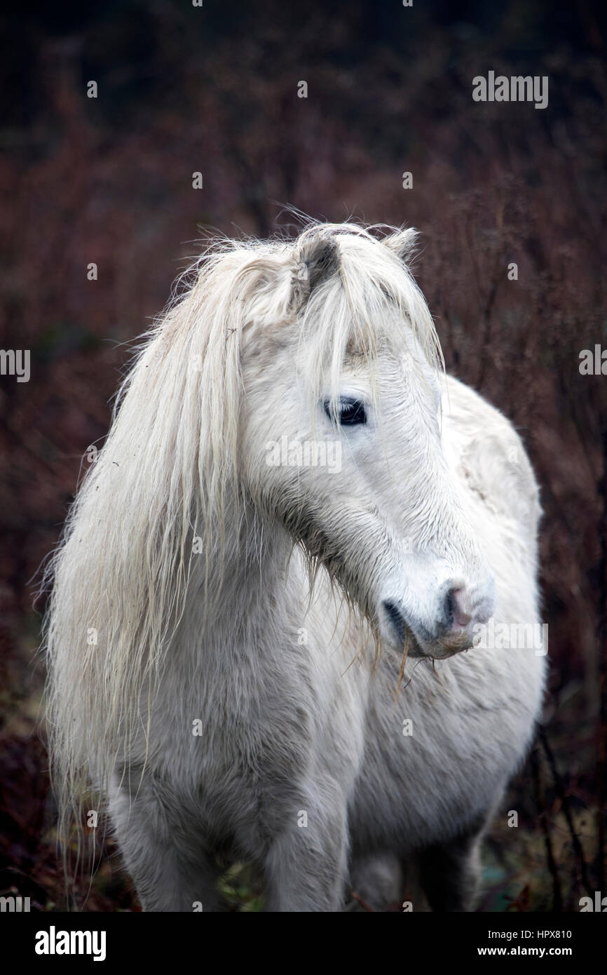 Wild Carneddau Pony alone in a SSSI in Lixwm to keep vegetation down to enable wild flowers to flourish - Stock Image