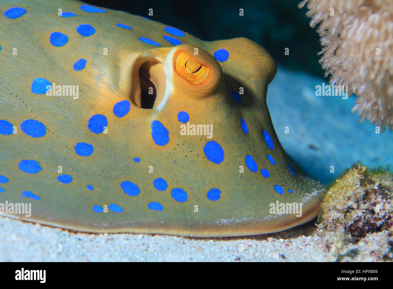 Bluespotted ribbontal stingray (Taeniura lymma) underwater in the coral reef of the Red Sea - Stock Image