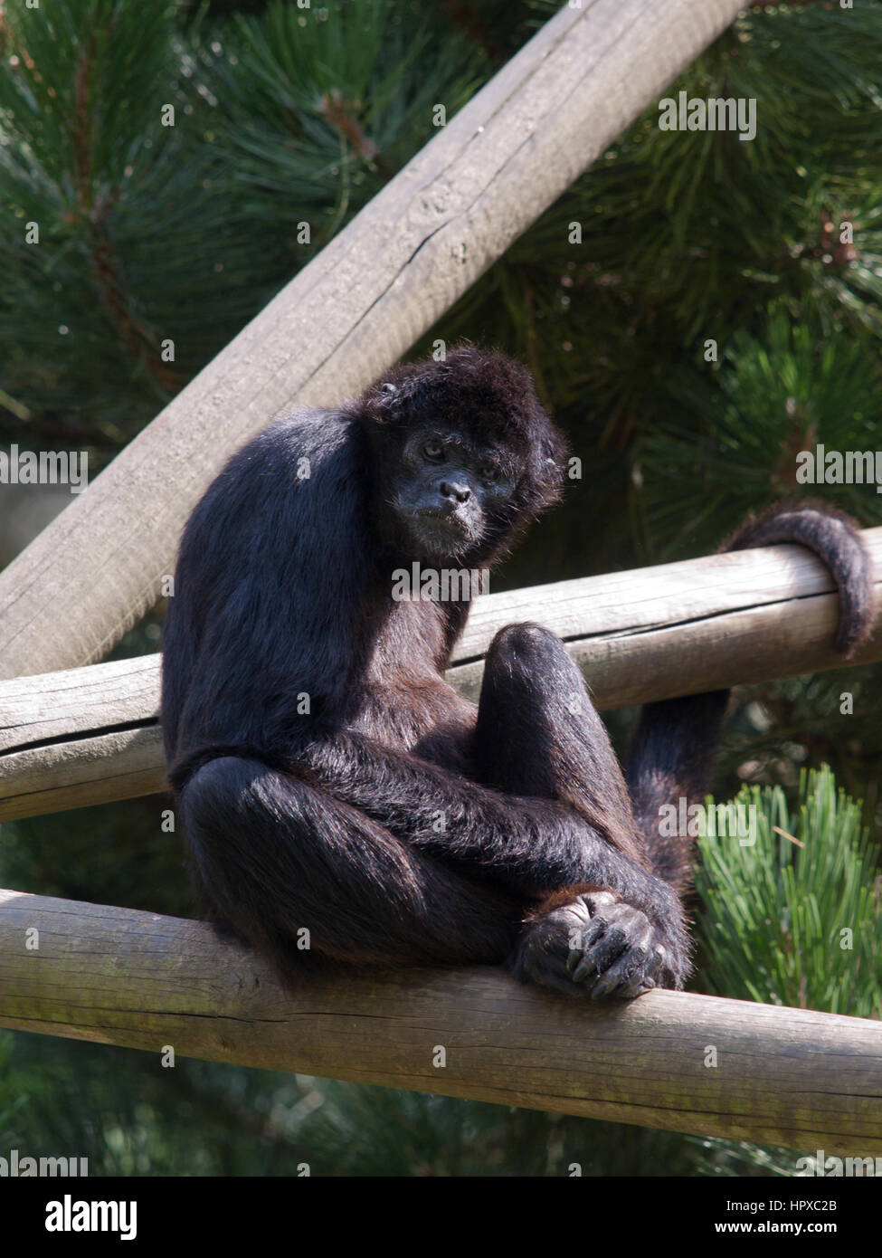 Endangered species of Sumatra  Kloss Gibbon sitting and staring at the zoo - Stock Image