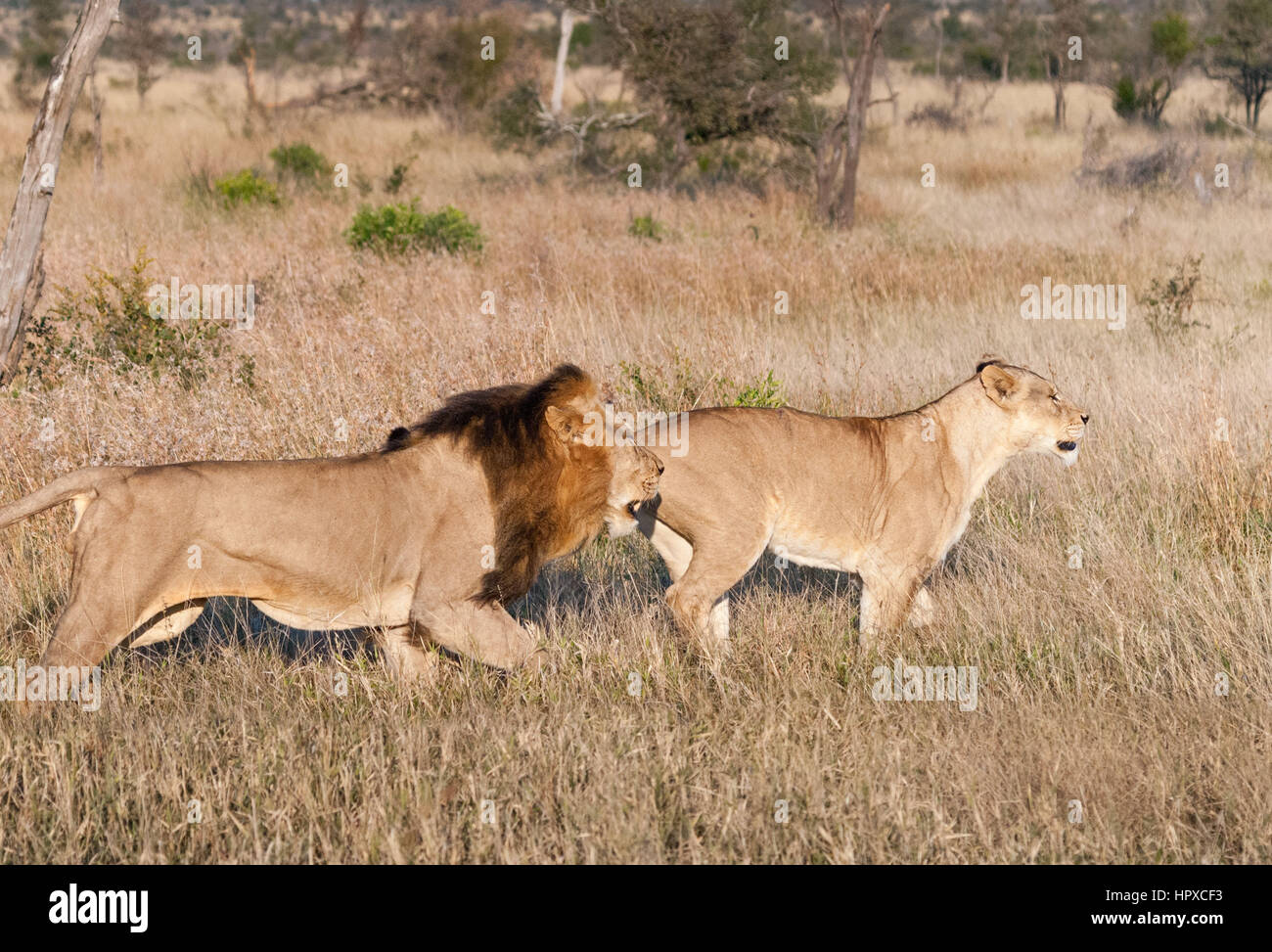 Lion and Lioness hunting at Kruger National Park, South Africa Stock Photo