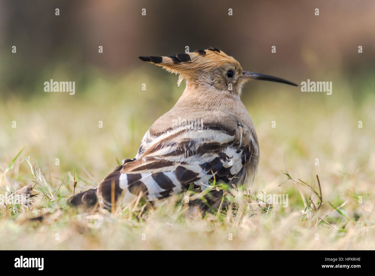 Colorful; Eurasian Hoopoe; Hoopoe; Paradisaeidae; Upupa epops; Upupidae; bif; birds; birds in flight; birds photography; - Stock Image