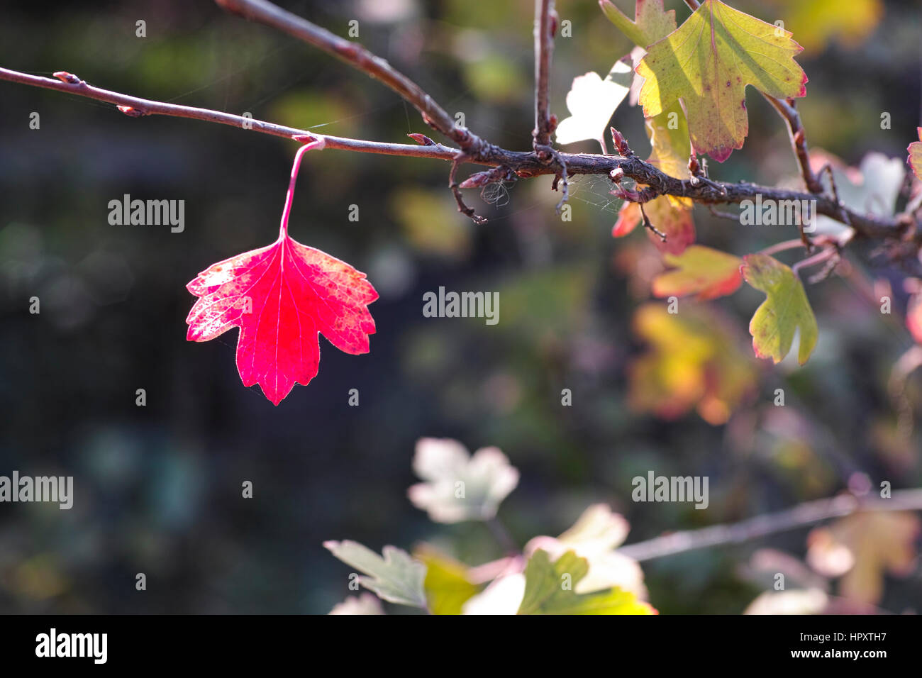 Lonely red leaf on the twig. - Stock Image