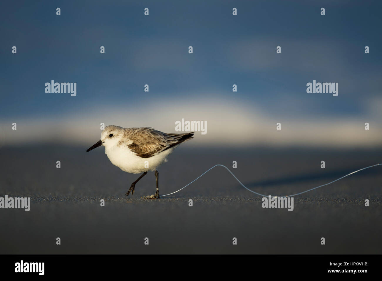 An unfortunate Sanderling has fishing line tangled around its foot as it runs on a dark sandy beach in the late - Stock Image