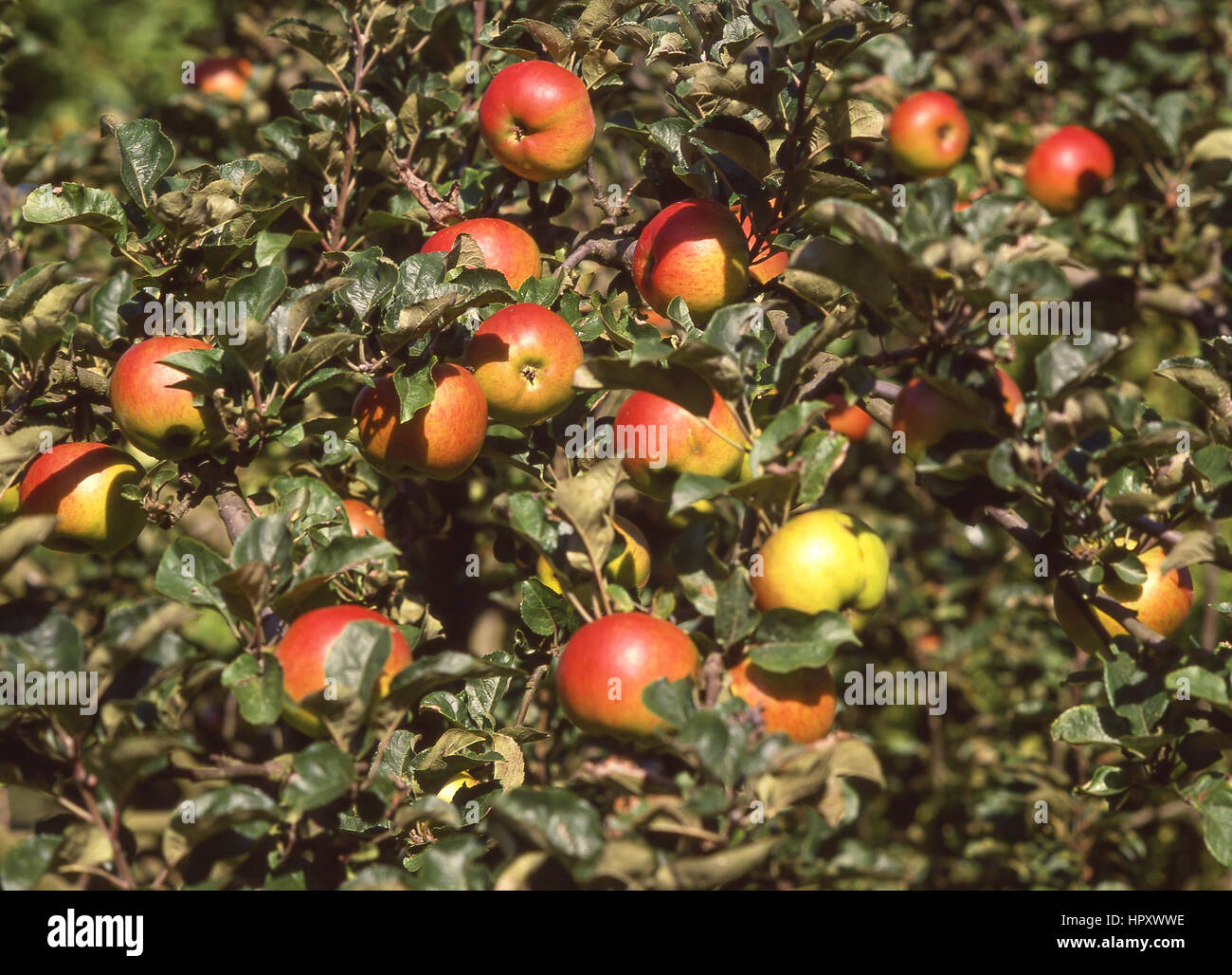 Ripe apples on tree in orchard, Kent, England, United Kingdom - Stock Image