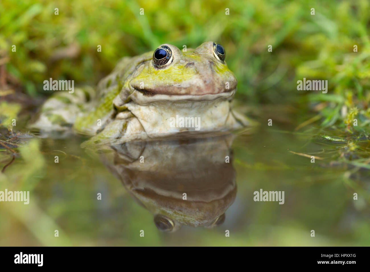 Marash Frog; Pelophylax ridibundus Single in Water UK - Stock Image