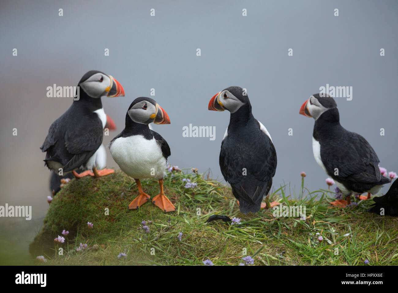 Puffin; Fratercula arctica Group on Cliff Dunnet Head; Scotland; UK - Stock Image