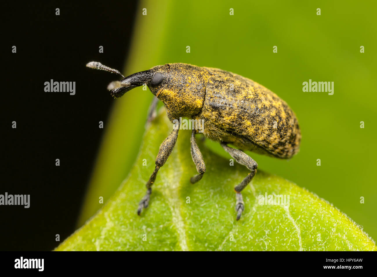 A Canada Thistle Bud Weevil (Larinus planus) at the edge of a leaf. - Stock Image