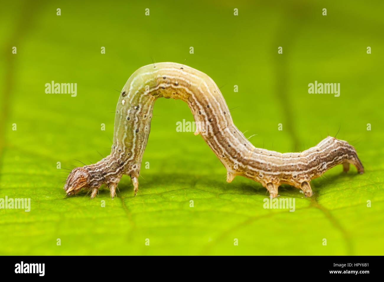 Erebid Moth (Zale sp.) caterpillar (larva) displaying movement like a geometer caterpillar. - Stock Image