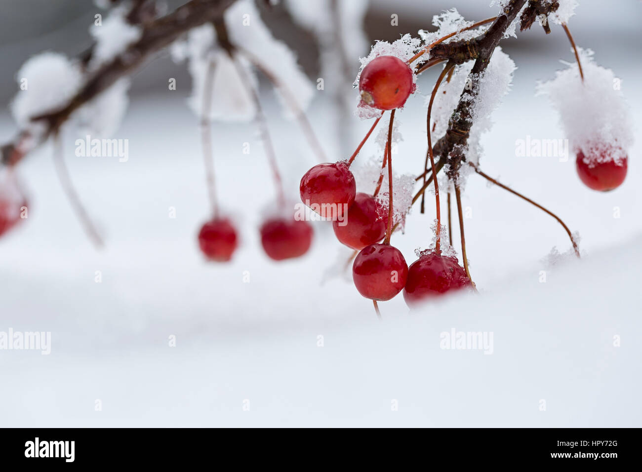 red berries on branch in snow Stock Photo