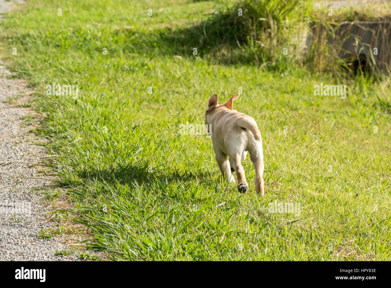 A young Labrador Retriever puppy running away through a park with his ears flying up. - Stock Image