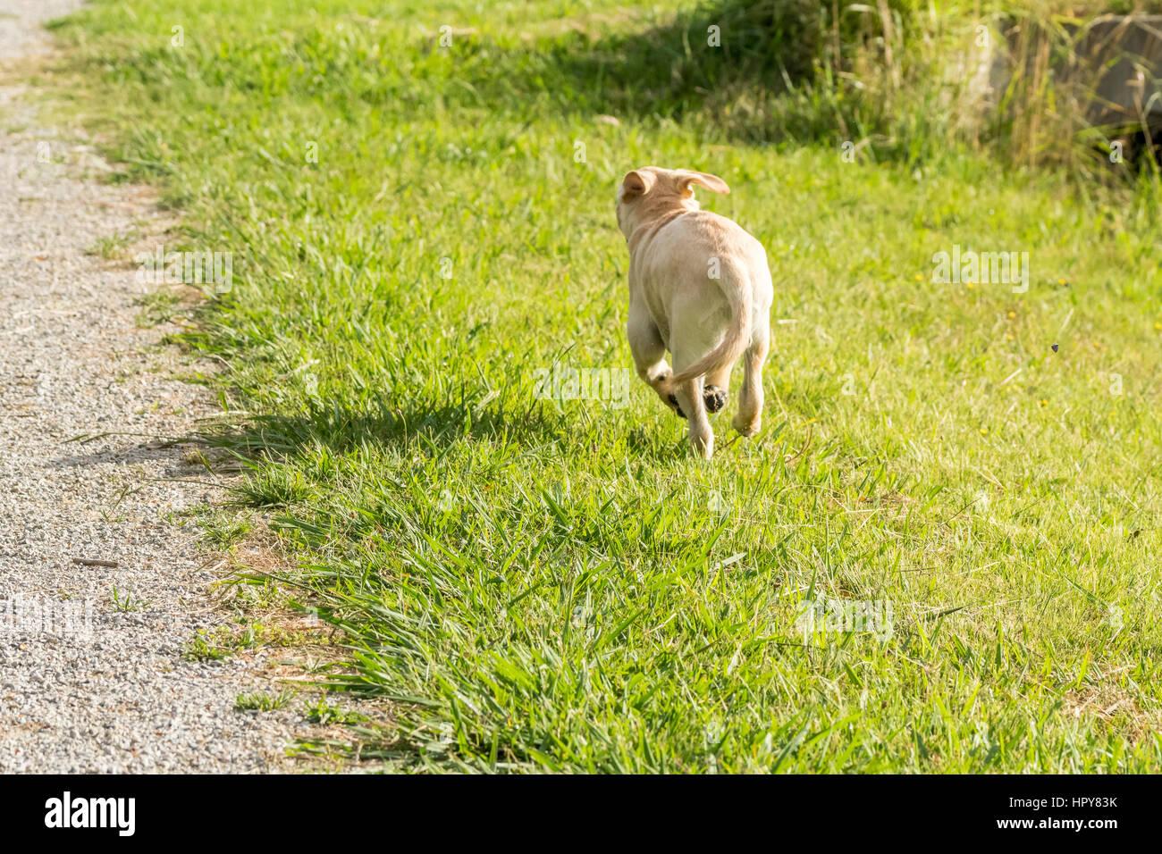 A naughty yellow Labrador puppy runs away across a grassy park. Stock Photo