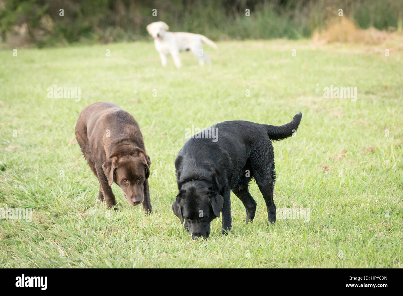 Three Labrador Retrievers, one chocolate colored, one white colored and black colored stand in a green meadow, with Stock Photo