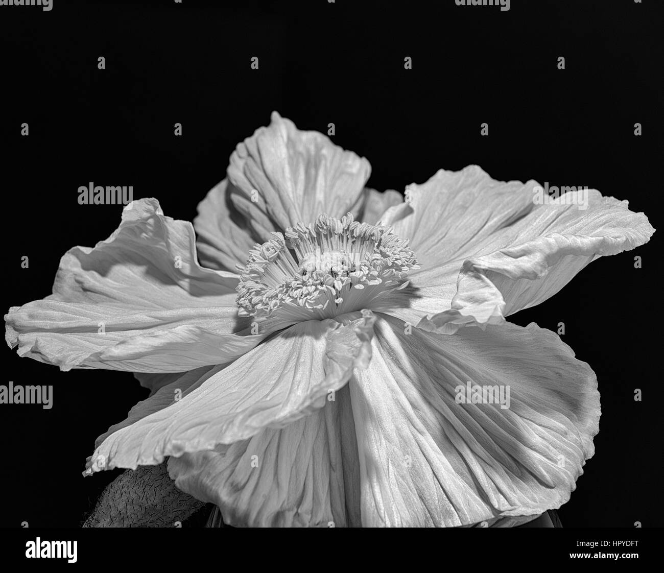 Satin Poppy Blossom Macro on black background in monochrome - Stock Image