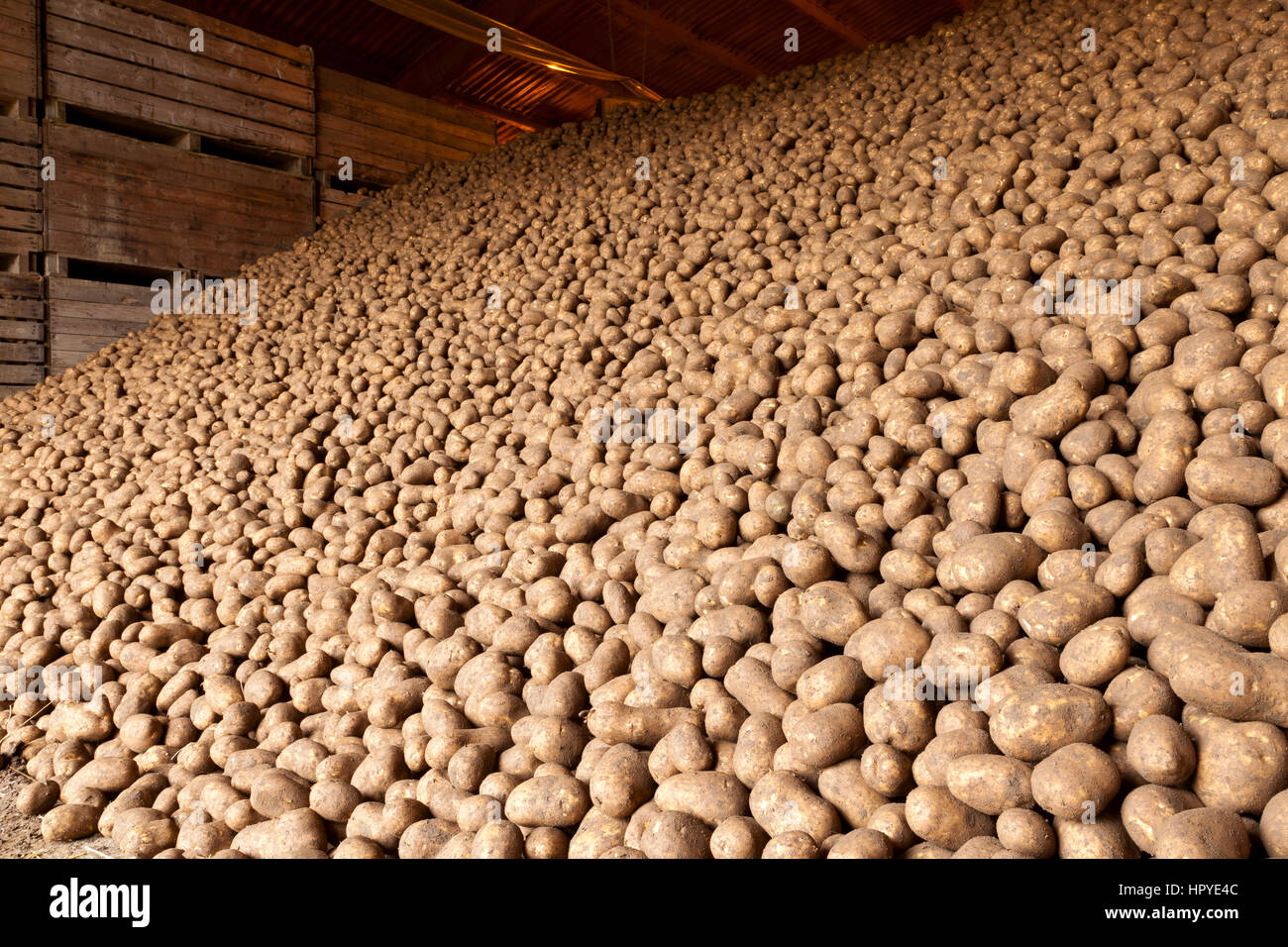 Potatoes stored in an agricultural potato store Stock Photo
