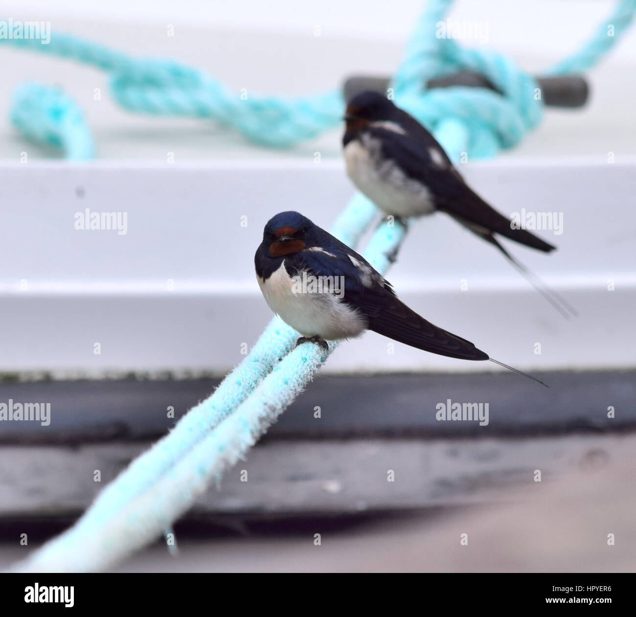Swallows resting on mooring ropes - Stock Image
